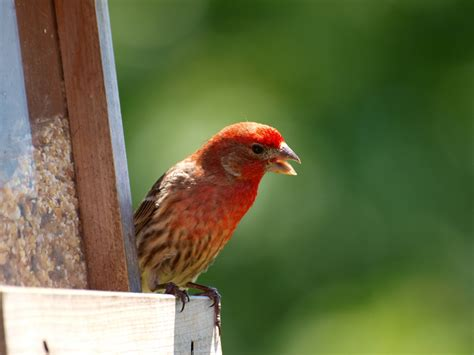 young house finch inside caledon ontario