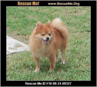 rescue me pomeranian pomeranian rescueme org