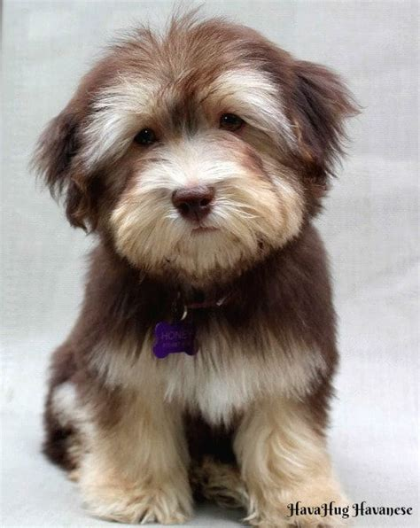 akc rules for giving a havanese a hair cut best 25 small non shedding dogs ideas on pinterest non