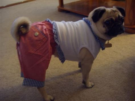 pug clothes india 17 best images about pets i like on chihuahuas puppys and baby