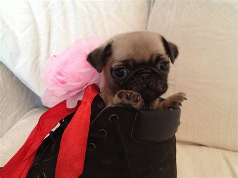 teacup pugs puppies for sale black teacup pugs quotes