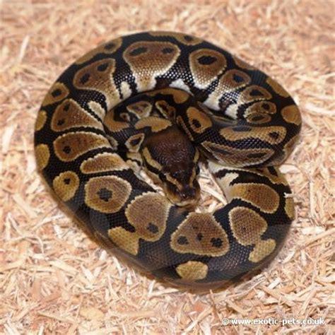 python heat l at royal python baby captive farmed royal python or