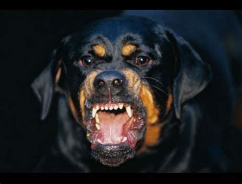of rottweiler dogs rottweiler breeds