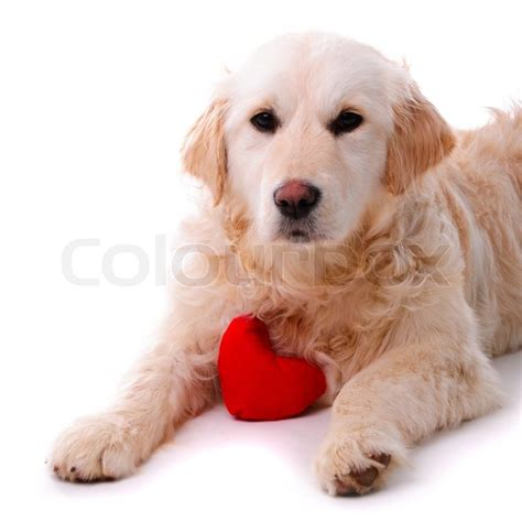 hearts of gold golden retrievers golden retriever puppy isolated on white background with symbol concept of