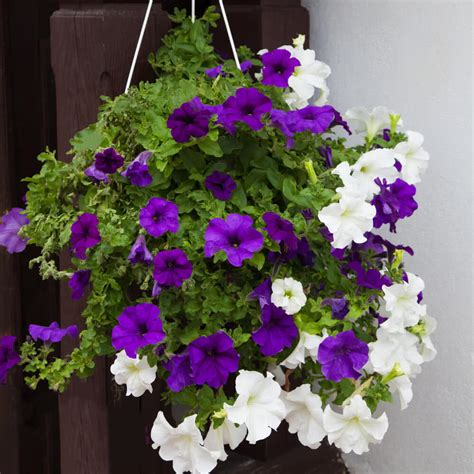 Flowers For Balcony Planters by Top 10 Plants For Balcony In India
