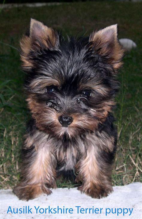 silky yorkie puppies 8 best australian silky terrier images on silky terrier australian