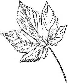 Sycamore Leaf Outline by Sycamore Maple Clipart Etc