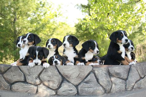 greater swiss mountain puppies what are the 4 swiss mountain dogs breeds picture