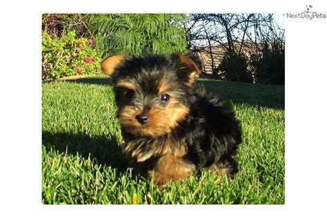teacup yorkie for sale in san diego dogs and puppies for sale and adoption oodle marketplace