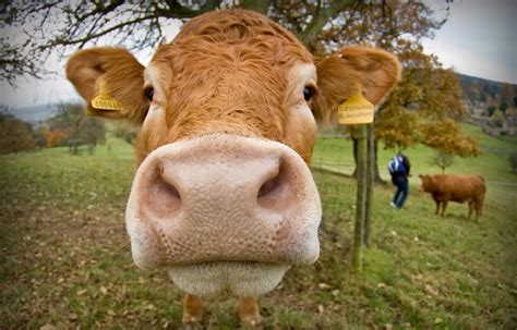 are you a cow mindful splatter random info straight from the heart