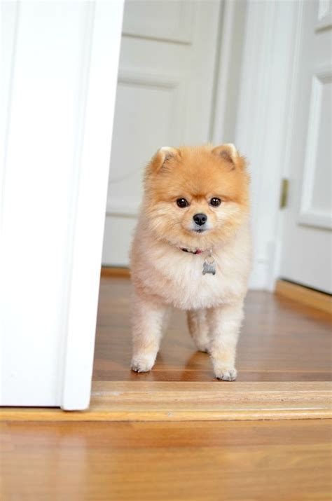 short haircuts for pomeranians 22 best pomeranian haircut images on pinterest