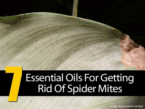 7 Ways To Get Rid Of Dust Mites by How To Get Rid Of Spider Mites Infestation 3 Organic