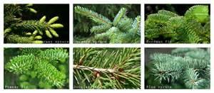 Popular christmas tree species in the uk