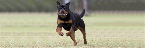 buy a rottweiler the home of the nsw rottweiler club the rottweiler club of nsw