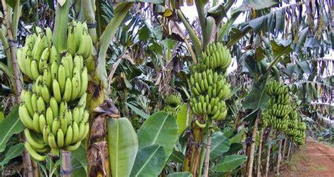 panduan  praktis budidaya pisang  hasil panen