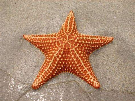 gambar wallpaper bintang laut fakta fakta menarik seputar bintang laut zonakamu