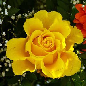 imagenes de flores amarillas rosas de varios colores ecuador nostalgia gabitos