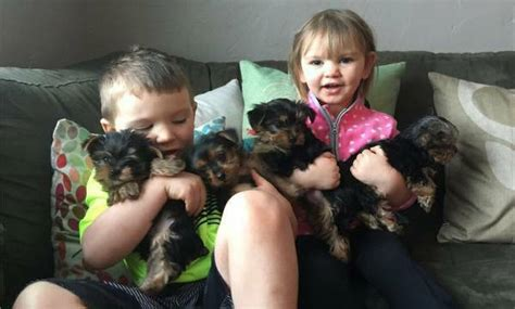 yorkies for sale in roanoke va terrier puppies for sale roanoke va 253055