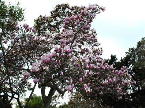 plantfiles pictures saucer magnolia tulip tree san jose