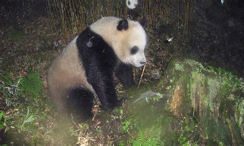 A Peek at Pandas in Their Remote Mountain Habitat ...