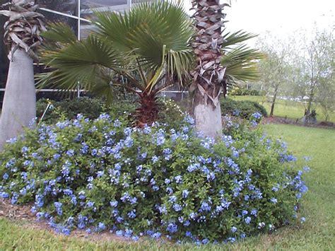 blue flowering shrubs in florida plumbago