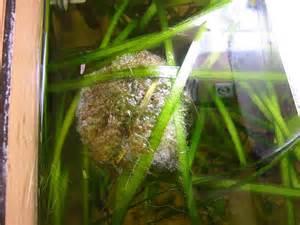 dwarf gouramis bubble nest :)   Member's Aquarium and Fish Pictures