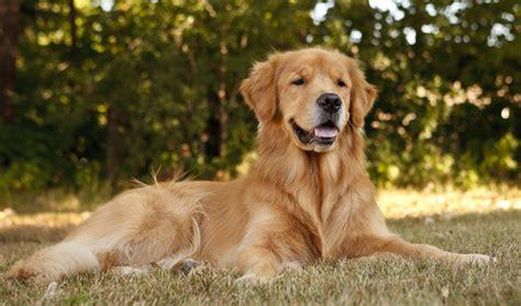smiling golden retriever golden retriever