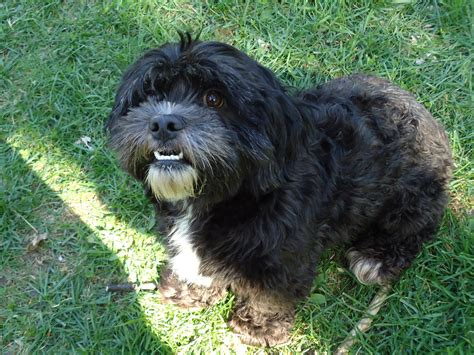 poodle and shih tzu mix for sale pin shih tzu poodle mix puppies for sale nc on