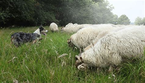 how to herding dogs how to herding dogs when you lied on your resume about being a sheep