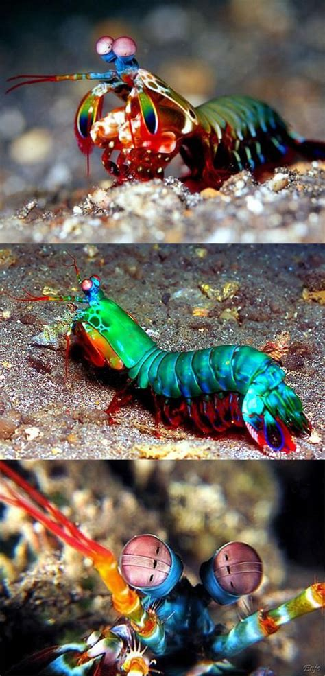 mantis shrimp colors this mantis shrimp can see more colors than you can think