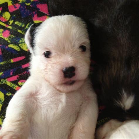 maltese x shih tzu x chihuahua stunning maltese x shih tzu x chihuahua puppies small maltese x chihuahua mix