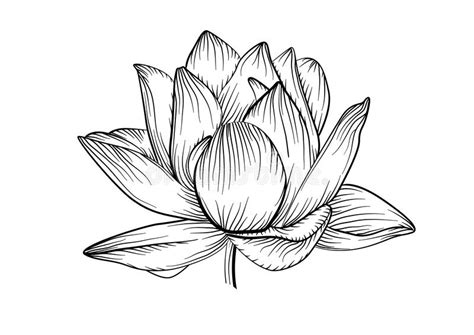 lotus water lily vector beautiful flower line black and