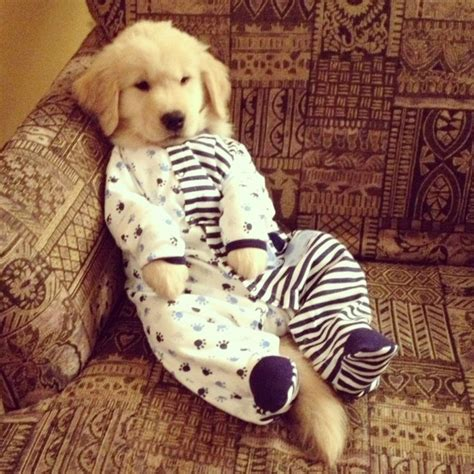 golden retriever pajamas golden retriever in pajamas