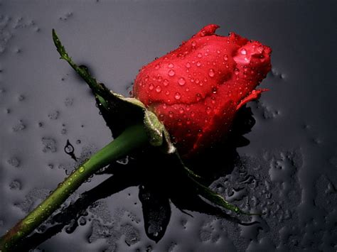 wallpaper cute rose cute rose wallpaper gallery online news icon