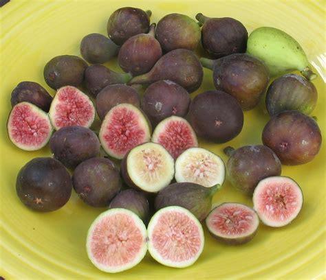 best fig best fig in ground mountain figs