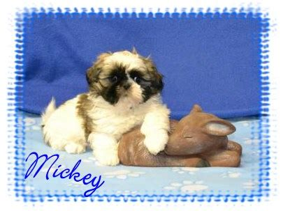 shih tzu puppies greenville sc puppies in greenville pa breeds picture