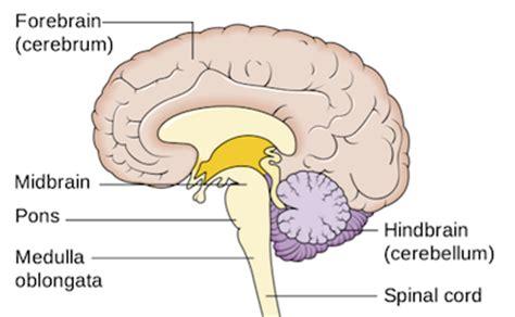 diagram of forebrain forebrain definition function lesson