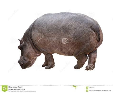 Hippo White hippo isolated stock image image of hippopotamus nature