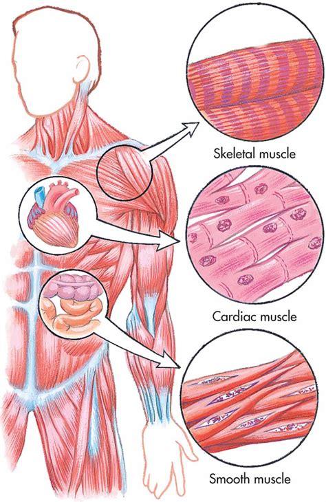 human tissue diagram ciencias 4to grado human tissues