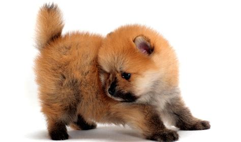 what is the expectancy of a pomeranian pomeranian breed information