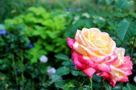 imagenes flores mas lindas todo mundo imajenes de las flores mas hermosa del mundo imagui