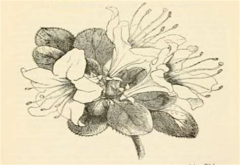 how to draw rhododendron