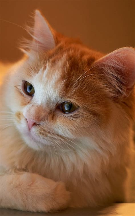 wallpaper cat android orange fluffy cat android wallpaper free download
