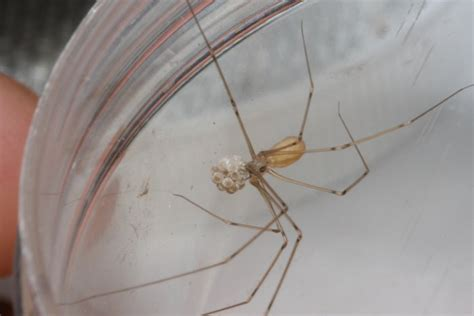 cellar spider with eggs and baby the backyard arthropod