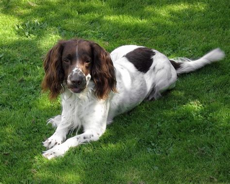 spaniel breeds top 10 breeds in the uk
