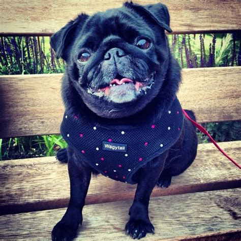 black pug soft uk 38 best pugs in our harness s bandanas images on bandanas bandeaus and