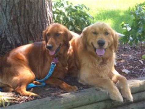 golden retriever puppies for sale in grand rapids michigan golden retriever puppies in michigan