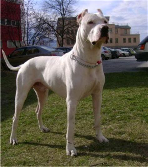 dogo breed dogo argentino breed images pictures