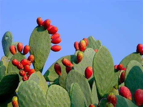 fico d india un frutto coloratissimo ricco di propriet 224