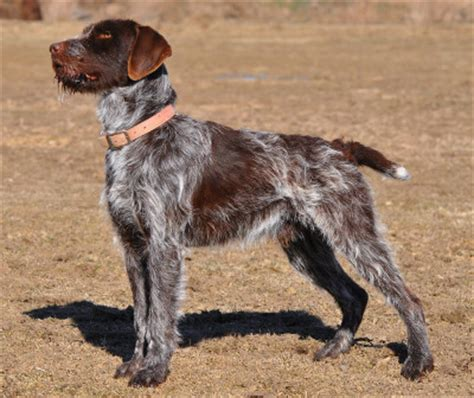 pointing griffon puppy wirehaired pointing griffon info temperament puppies pictures